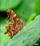 Title: �comma butterfly��