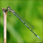 Title: �Coenagrion puella young male��