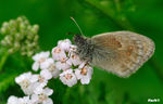 Title: �Coenonympha��
