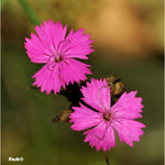 Title: �Dianthus carthusianorum sp.��