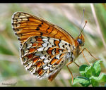 Title: �knapweed fritillary per Luciano��
