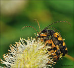Title: �Spotted Longhorn��
