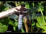 Title: �Broad-bodied Chaser male��