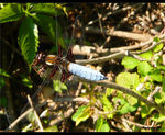 Title: �fresh male Libellula depressa��