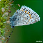 Title: �lycaenidae with droplets��