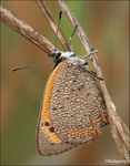 Title: �lycaena phlaeas at morning��