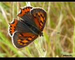 Title: �Lycaena phlaeas male��