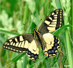 Title: �May like Machaon��