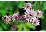 Title: �Astrantia major and fly��