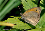 Title: �Meadow Brown ��