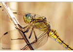Title: �orthetrum cancellatum close��