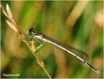 Title: �Pennipes male��