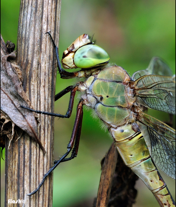 �the pride of the dragonfly��