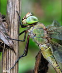Title: �the pride of the dragonfly��