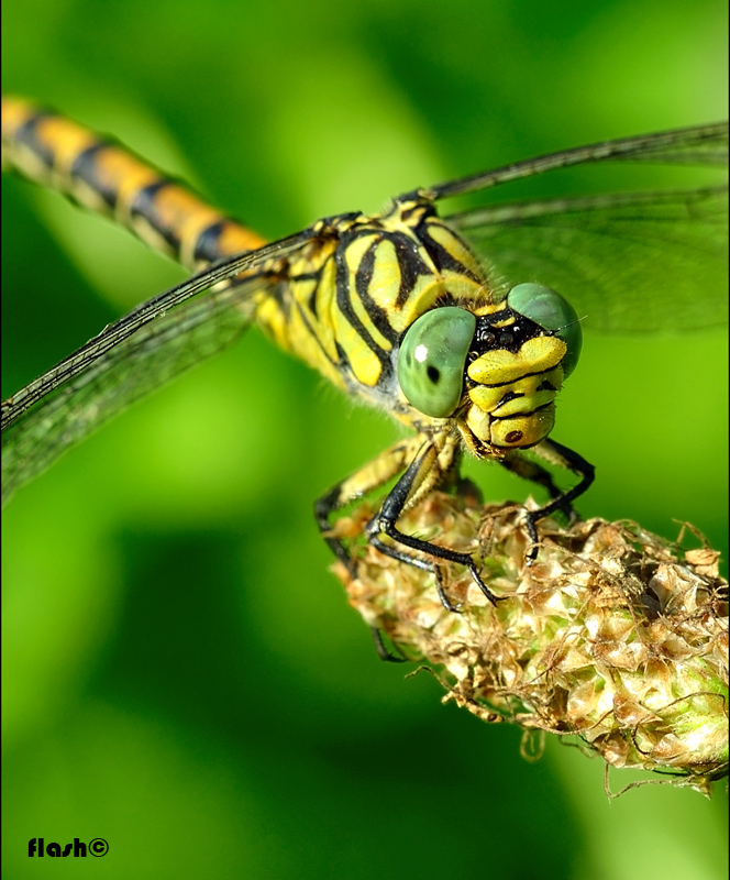 �Small Pincertail female��