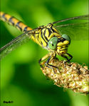 Title: �Small Pincertail female��