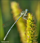 Title: �damselfly and dew��