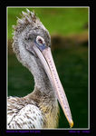 Title: Pelican posing for camera